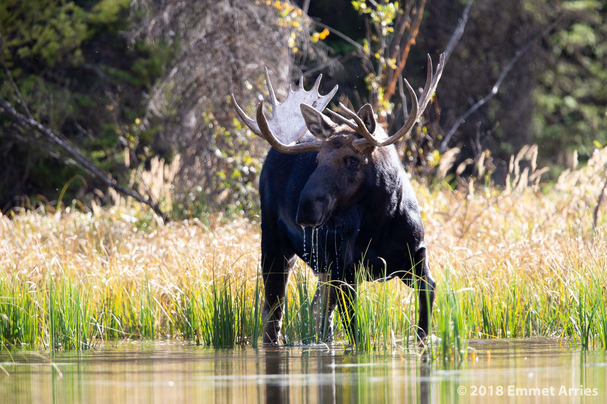 Water drips from a bull moose as he lifts his head after taking a drink out of a pond in Grand Teton National Park.