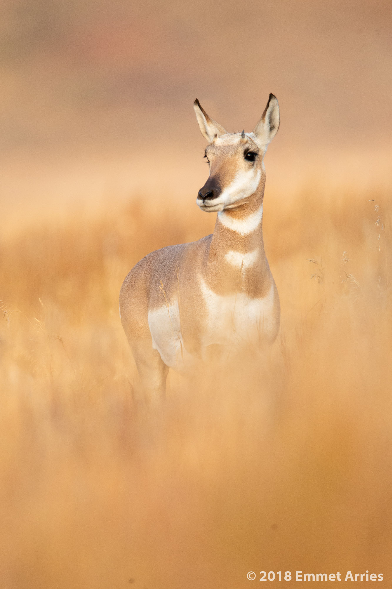 During an early morning excursion in Grand Teton National Park, I found this pronghorn standing alert but relaxed in the soft morning light. Pronghorn are the fastest land animal in North America; they can reach speeds of more than 50 miles per hour!