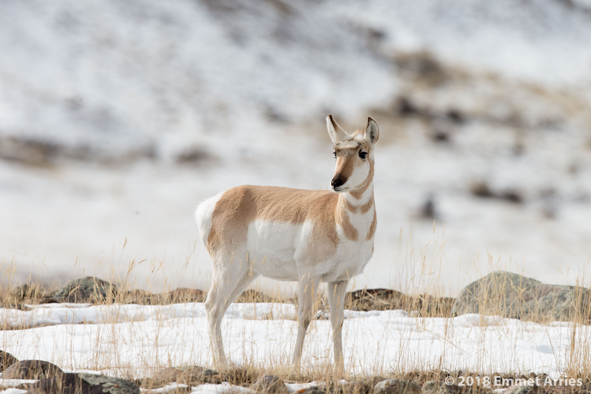 Female Pronghorn on the outskirts of Yellowstone.