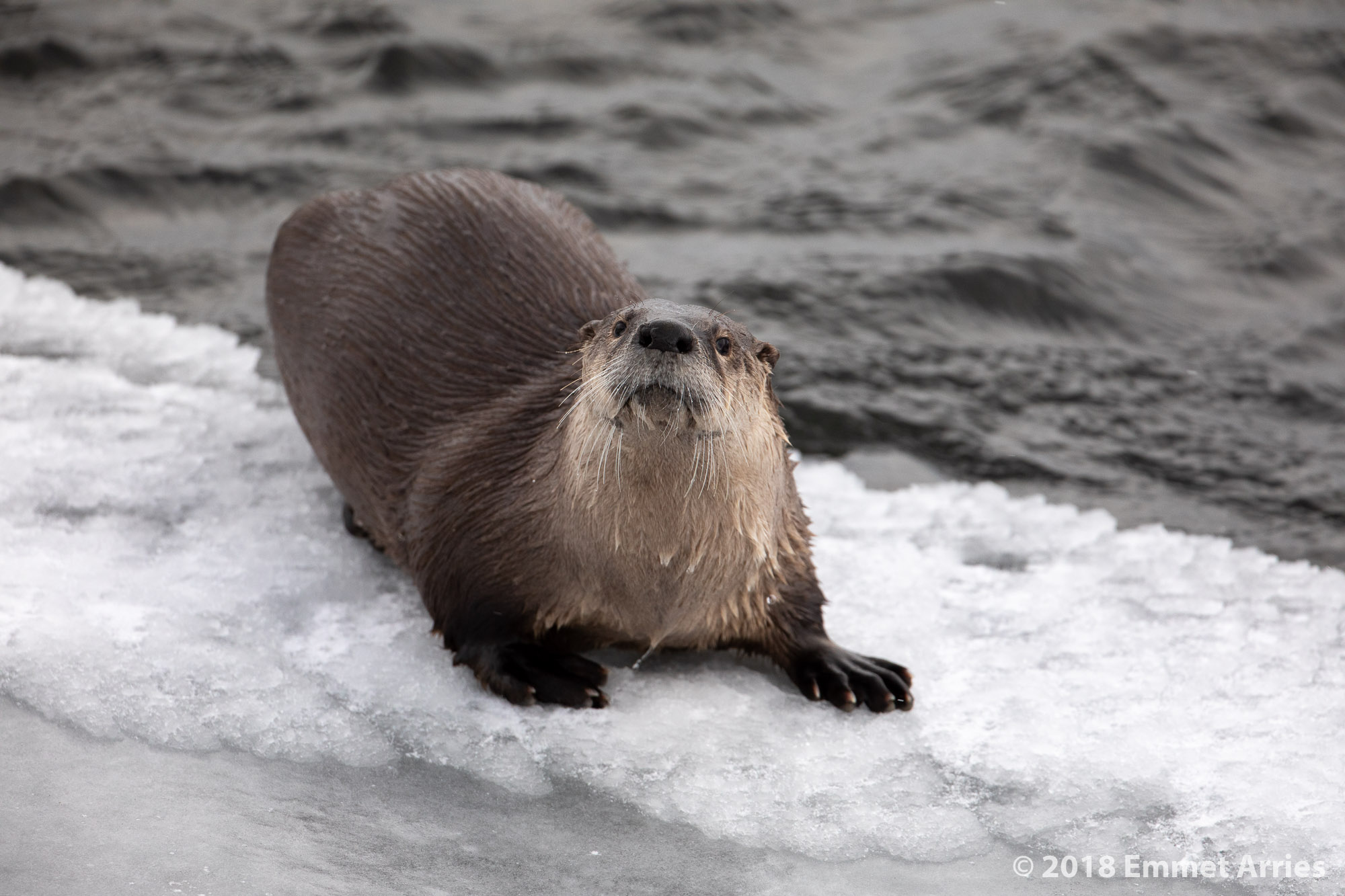 An Otter plays on the bank of a river for a half a second before returning to the water.