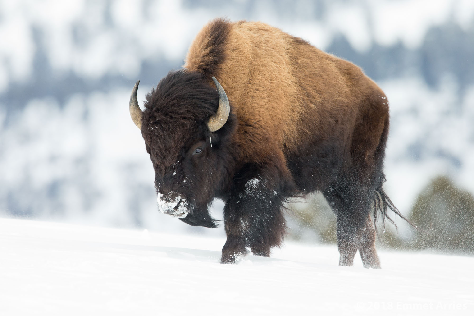 This bison struggles against the powerful wind as it leads a herd up a snowy hill on a wind-swept landscape in Yellowstone National Park. Yellowstone is the only place where Bison have lived since continuously lived since prehistoric times and considering that there were only 25 Bison in Yellowstone in 1901, we are incredibly lucky that Bison are still among us today.