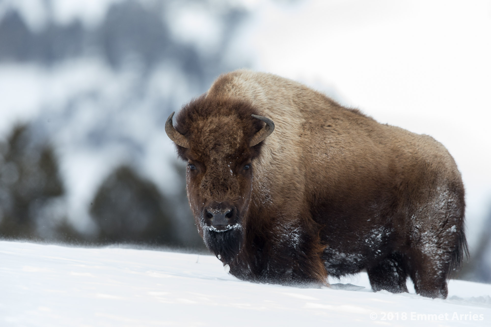 As a herd of bison breaks trail up a snowy hill, this female was in the lead, stopping every few steps to catch her breath.