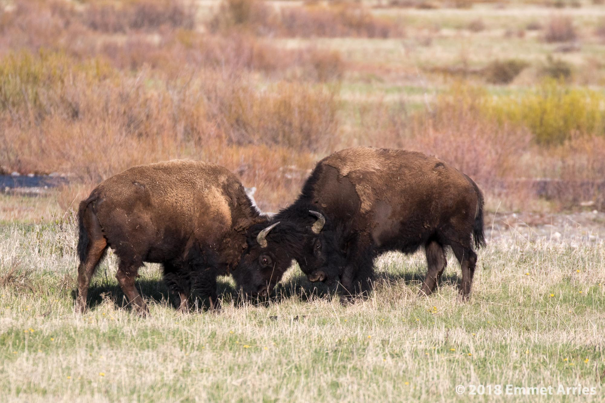 Two bison bulls playfight in spring in Round Prairie, Yellowstone.