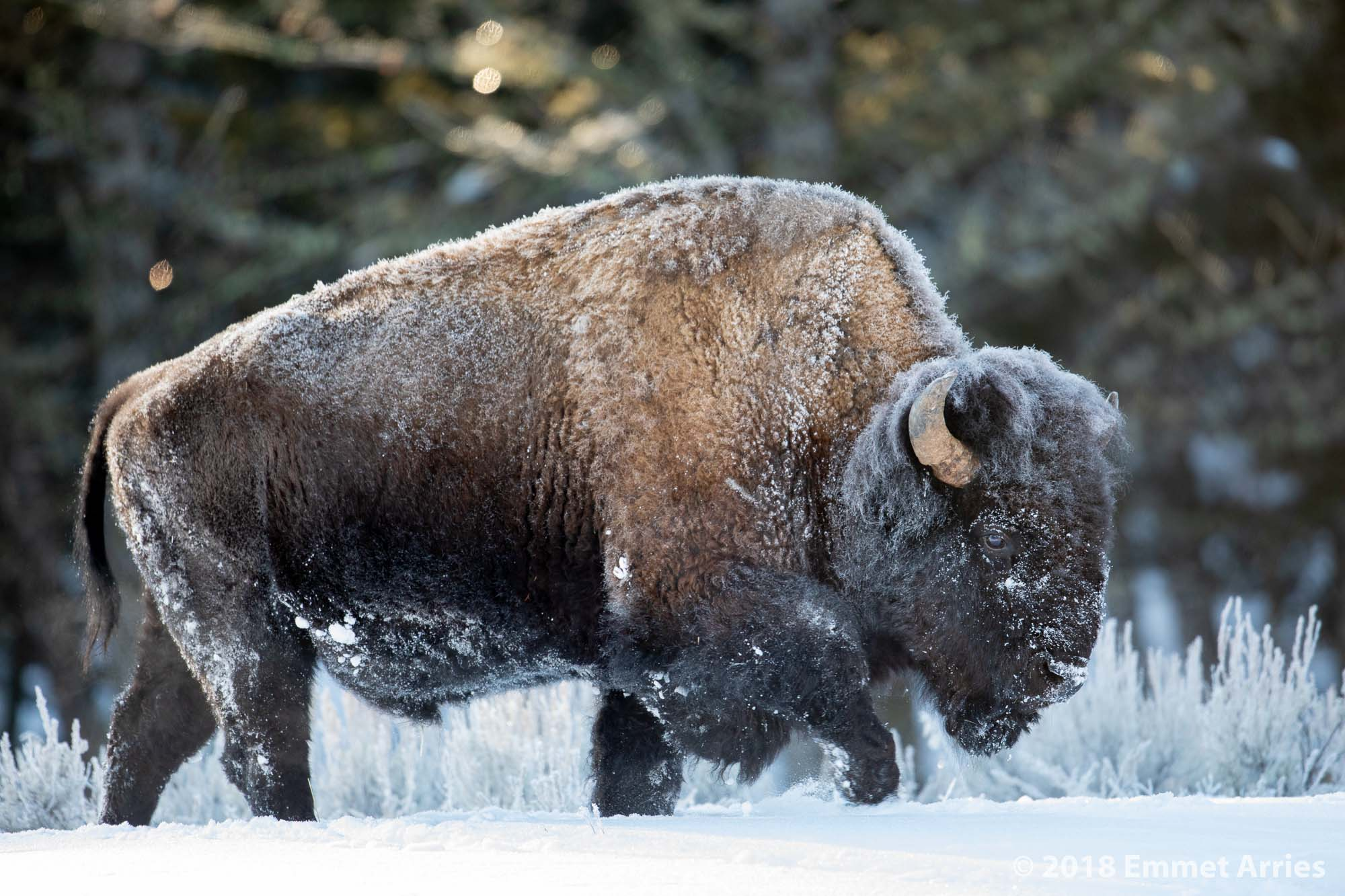 On an early morning excursion, we found this frosty Bull Bison pushing aside snow with his big head for a chance at the grasses underneath. After about an hour, he revealed his full majesty to us as he moved off.