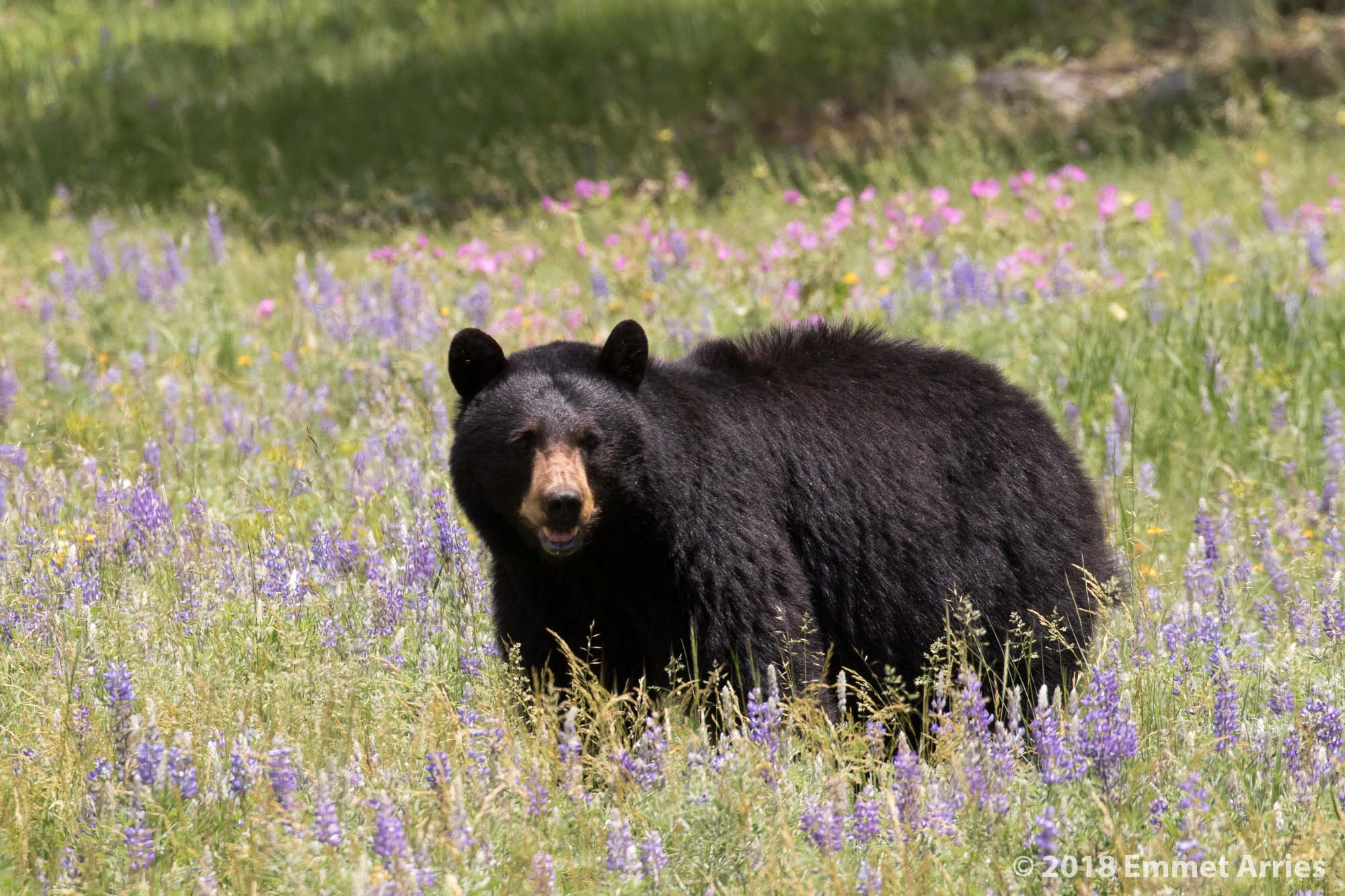 A mama black bear pauses in a field of wildflowers while trying to keep up with her two cubs. Slough Creek road in Yellowstone National Park.
