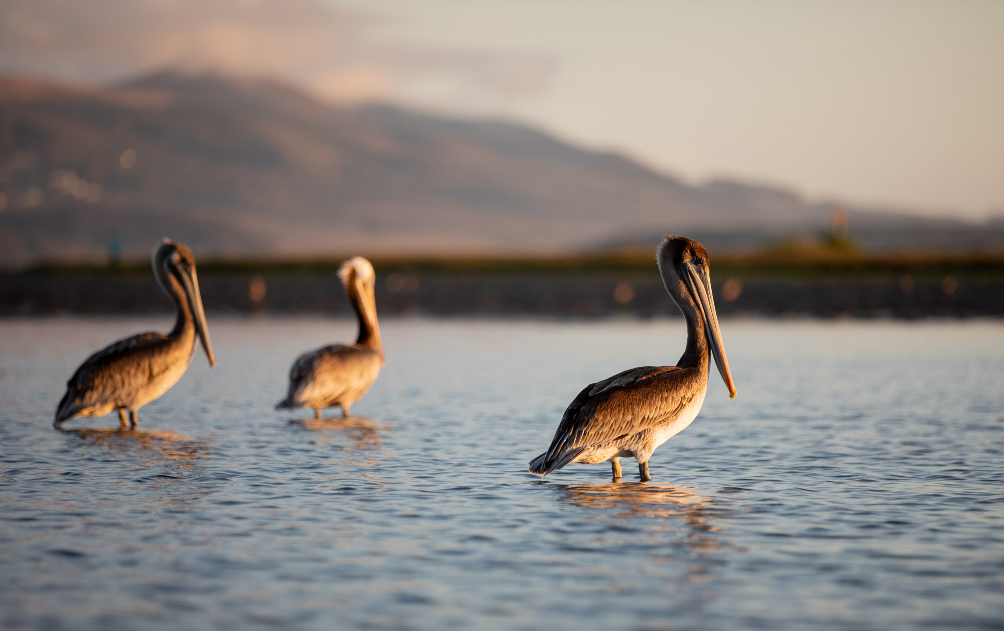 Three majestic brown pelicans stand in the shallows of the Morro Bay estuary.