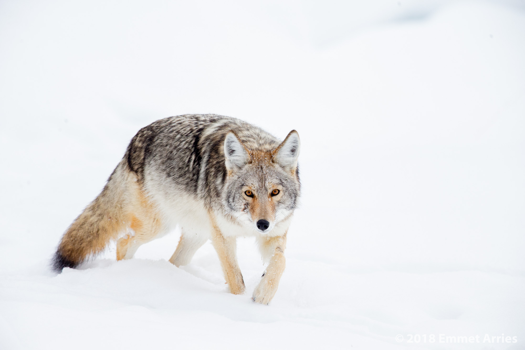 This coyote glances up from its wander in the interior of Yellowstone. Due to its full looking belly, I believe that it just finished gorging itself on a nearby carcass.