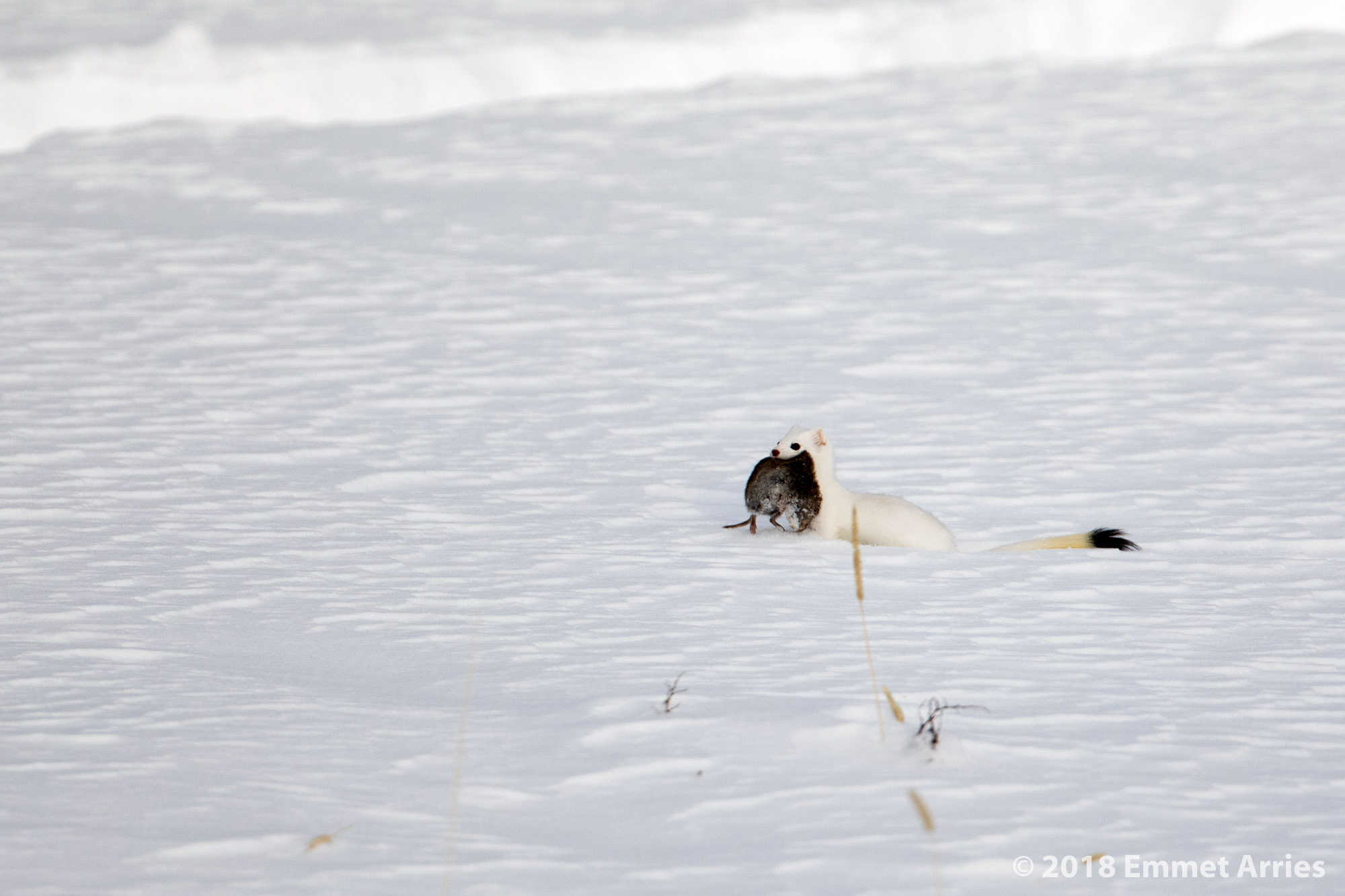 Long-tailed Weasel carrying a fresh meal.