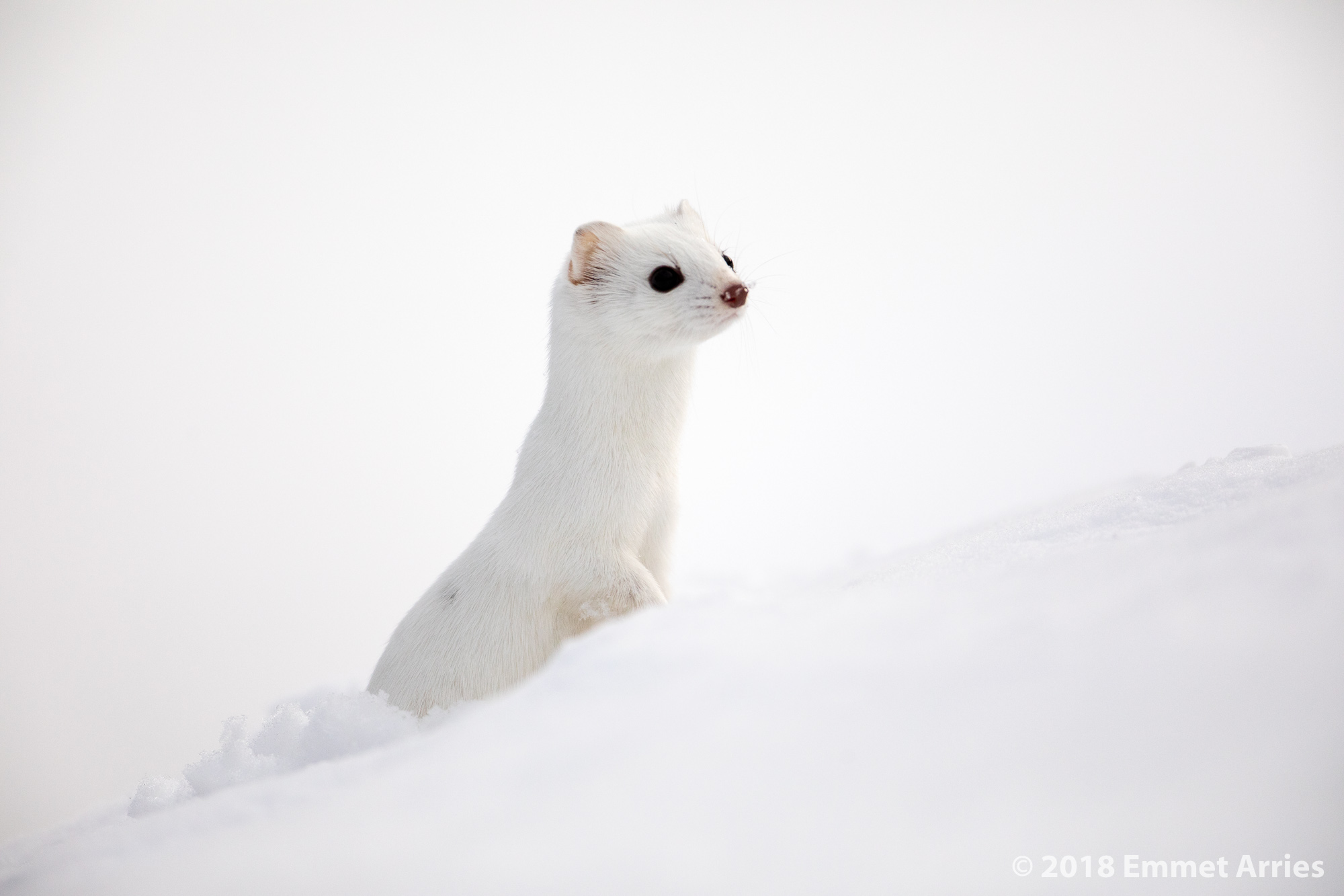 This was my first photographic encounter with a Long-tailed Weasel. They are incredibly fast! This was the only photo that was in focus when it ran near me becuase trying to keep a little weasel in the frame when using a 600mm lens is extremely hard.