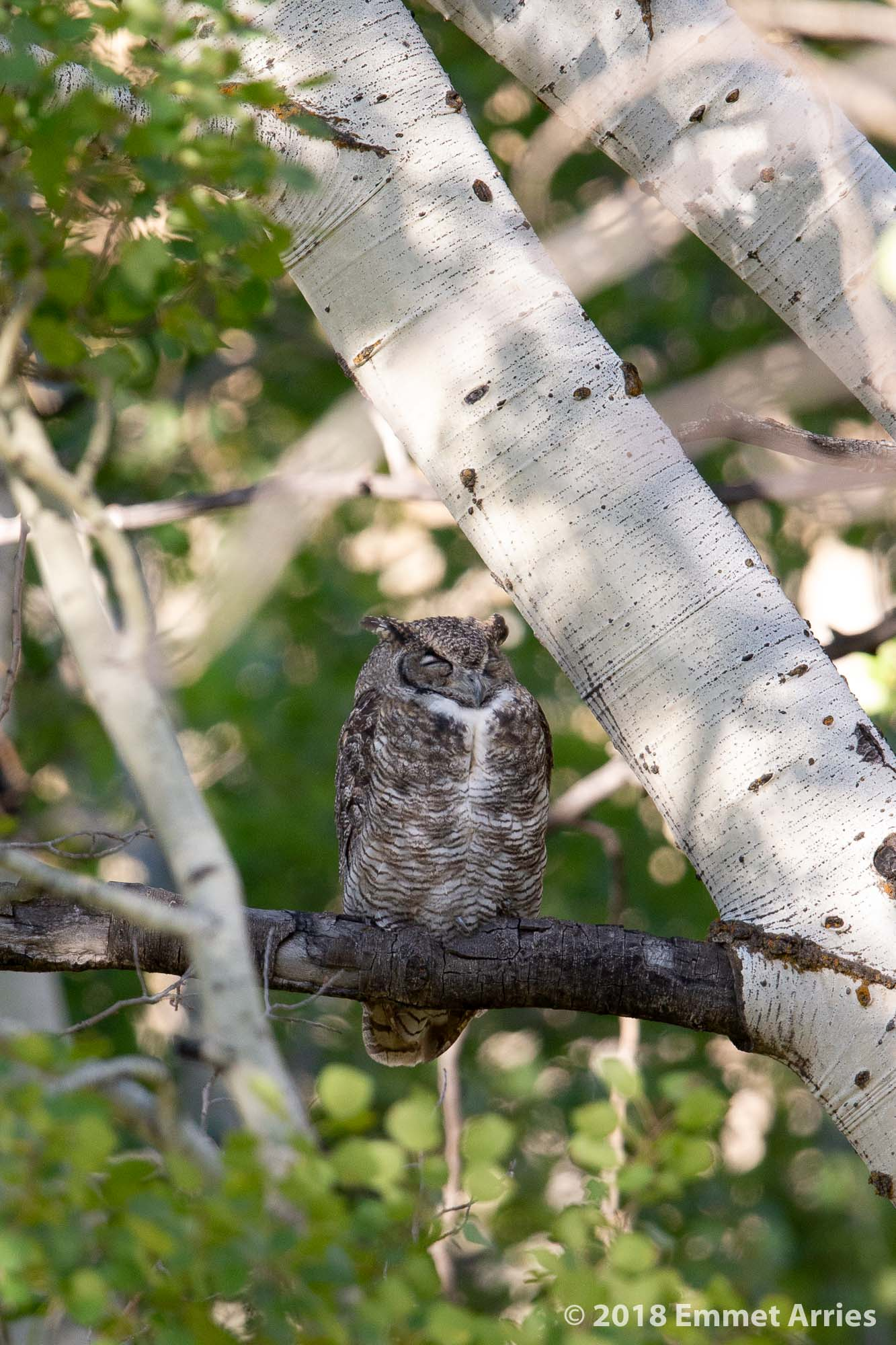 A sleepy Great Howned Owl takes a midday rest on a branch in an aspen grove near Grand Teton National Park.