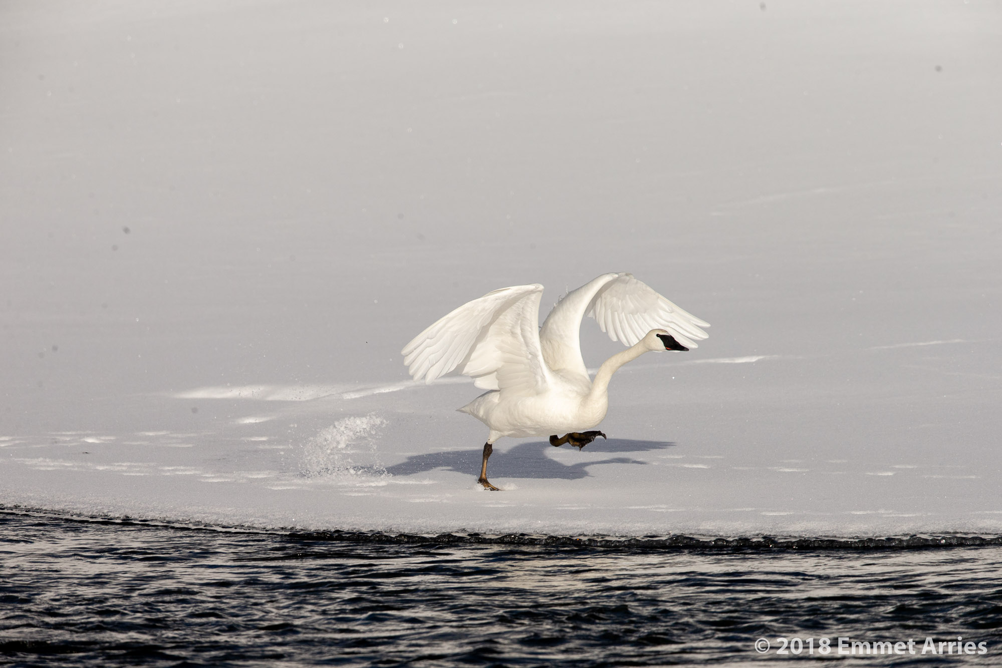Trumpeter Swans spend a lot of time not flying. When they do fly, it makes all the waiting worth it.