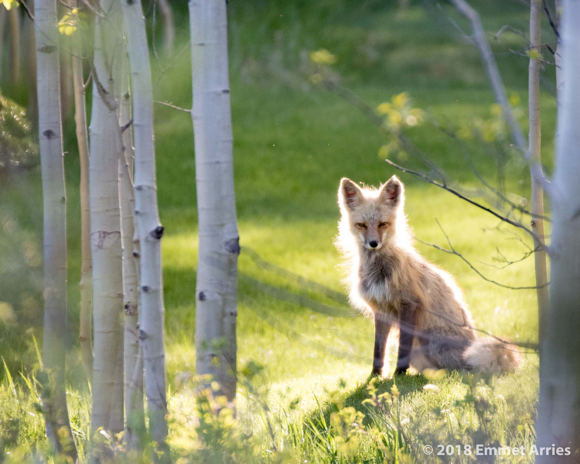 This Red Fox was wandering around a residential area. It is sure an unusual (at least for now) sight to see a fox sitting on somebody's lawn.