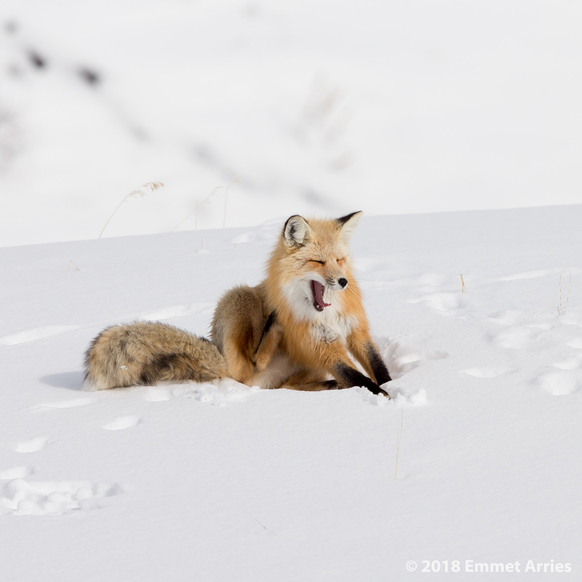 After waiting three hours for this red fox to wake up, he took this big stretch and ambled away. A yawn and scratch after a long nap in the snow.