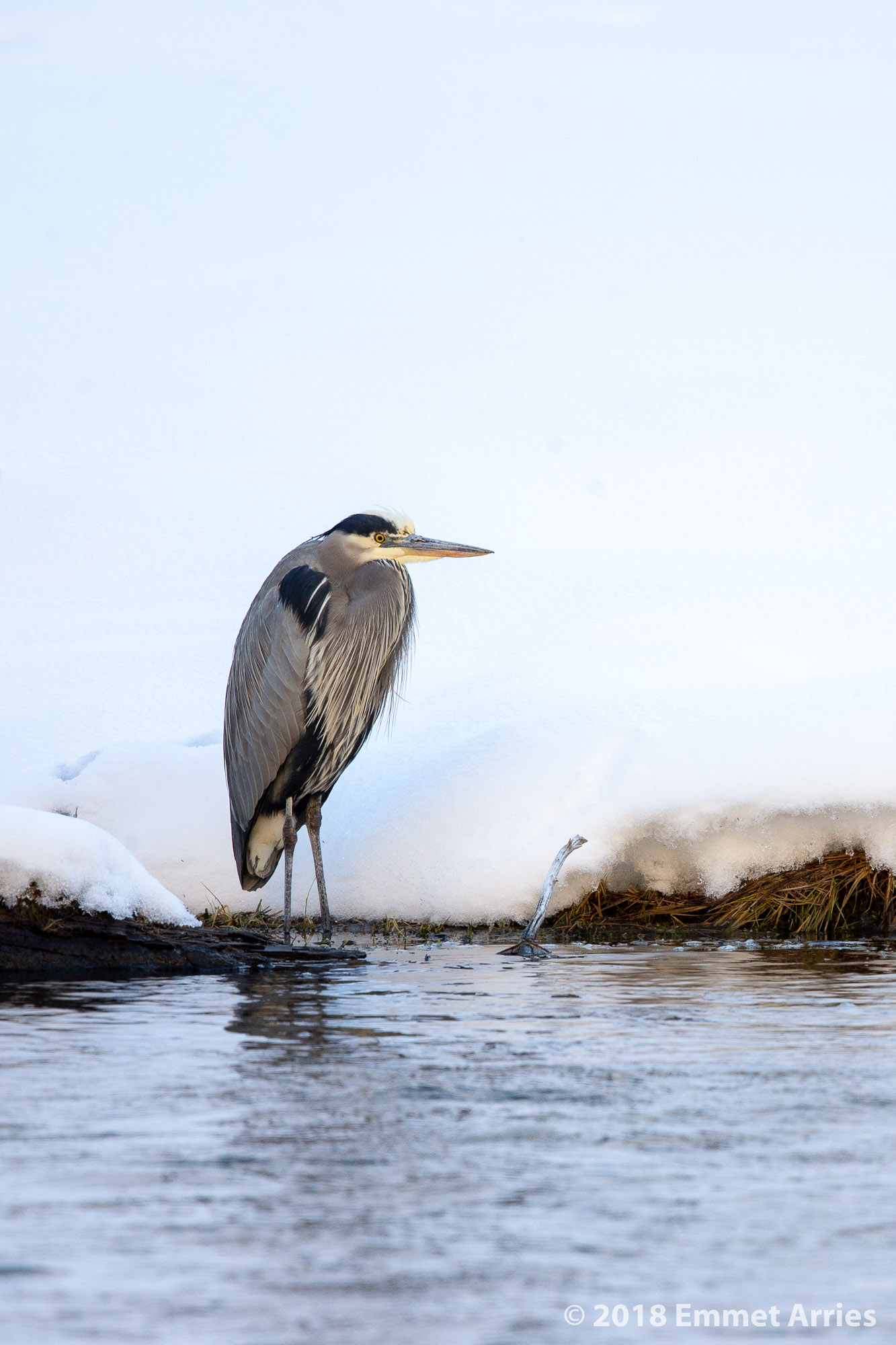 I live in a place with an abundance of Great Blue Herons but it never gets very cold. I was amazed when I found this GBH in Yellowstone during January. I did not know that Great Blue Herons would live in places that received feet upon feet of snow and sub-zero temperatures!