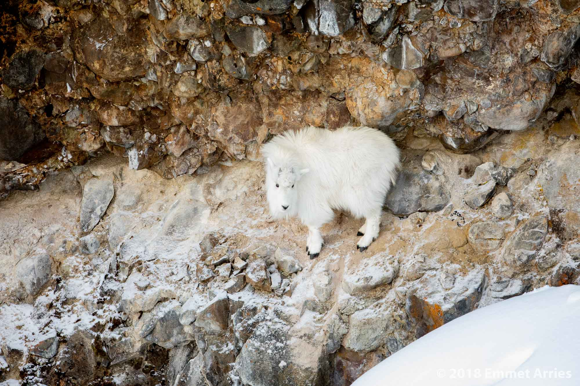 This mountain goat yearling was stuck in the bottom of this canyon after its mother was killed by wolves. It had been stuck for a couple of months when I took this image, so it might make it until springtime.
